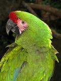 amazon papegoja Arkivbilder