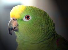 amazon papuga Zdjęcia Stock