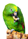 Amazon Parrot Stock Photos