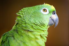 Amazon parrot Stock Photo