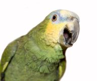 Amazon parrot. Making noise stock images