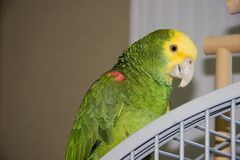 Amazon Parrot. Yellow Headed Amazon Parrot Sitting on Top of Cage Royalty Free Stock Photography