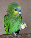 Amazon Parrot Royalty Free Stock Photography