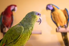 Amazon parrot bird looking back at macaws in background stock photography