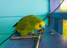 An amazon parrot Stock Image