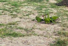 Amazon parrot Stock Image