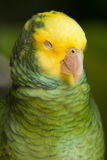 Amazon parrot. Royalty Free Stock Photo