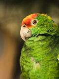 Amazon parrot. Green Cheek Amazon, Mexican Redhead Parrot, Red-Crowned Amazon Royalty Free Stock Photography