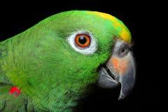 Amazon Parrot stock images