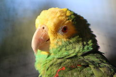 Amazon parrot. This is a photo of my bird Royalty Free Stock Photo