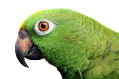 Amazon Parrot Royalty Free Stock Image