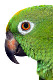 Amazon Parrot Stock Image