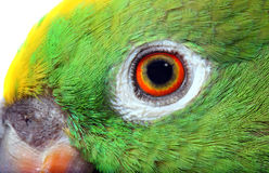Amazon Parrot Royalty Free Stock Images