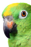 Amazon Parrot Royalty Free Stock Photos