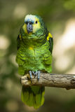 An amazon parrot sits on a branch. Royalty Free Stock Photos