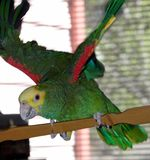 Amazon parrot. This is a Yellow Double-Headed Amazon Parrot Stock Photography