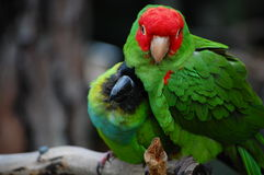Amazon Parrots Cuddling Royalty Free Stock Image