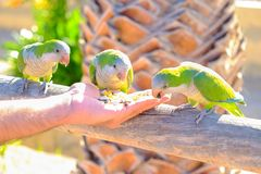 Amazon parrots are fed from a hand on Fuerteventura, Spain. Three green amazon parrots are fed from a hand on the Canary Island of Fuerteventura, Spain Royalty Free Stock Images