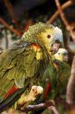 Amazon parrots Stock Photography