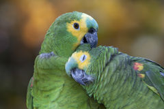 Amazon Parrots. Two green parrots in the rainforest Stock Photography