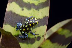 Amazon poison arrow frog rainforest peru Stock Photos