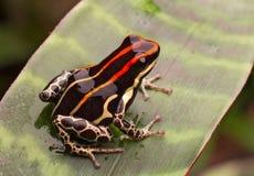 Amazon poison frog Peru Royalty Free Stock Photo
