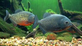 Amazon predatory piranha fish among the seaweed. stock video footage