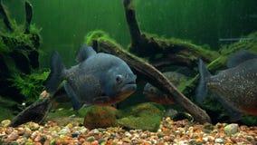 Amazon predatory piranha fish among the seaweed. stock footage