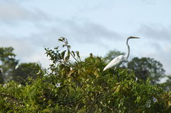 amazon ptaków Bolivia pampasy rzeczni Obrazy Royalty Free