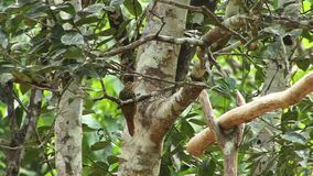 Native woodcreeper bird Amazon Rain forest. Amazon rain forest and bird climbing tree stock footage