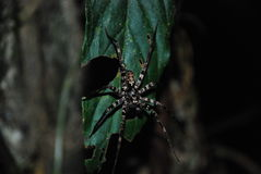Amazon Rain forest spider. A spider on a leaf in the Amazon Rain Forest at night Stock Photo