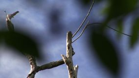 Woodpeckers on a tree in the Amazon Rain forest. Amazon rain forest and woodpeckers on a tree stock video footage