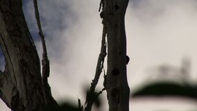 Woodpeckers on a tree in the Amazon Rain forest with sound. Amazon rain forest and woodpeckers on a tree stock footage