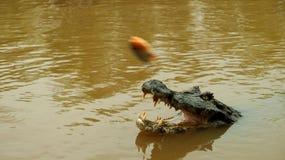 Amazon Rainforest Crocodile in Bolivia. Amazon Rainforest feeding Crocodile in Bolivia stock image