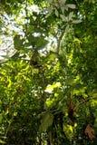 Amazon rainforest: Nature and plants along the shore of Amazon River near Manaus, Brazil South America Royalty Free Stock Photo