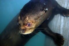 Amazon River Otter Royalty Free Stock Photos