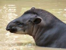 Tapir taking a bath royalty free stock image