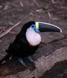 Amazon toucan bird sits on tree log Stock Photography