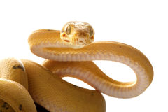 Amazon tree boa Royalty Free Stock Image