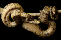 Amazon tree boa Stock Photo