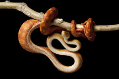 Free Amazon Tree Boa Stock Photography - 11444022