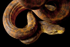 Free Amazon Tree Boa Royalty Free Stock Photos - 11444138