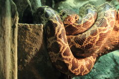 Amazon tree boa Stock Photography