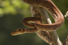 Amazon tree boa constrictor. 1.5X magnification, tripod, no flash, Amazon Tree Boa, Corallus hortulanus, habitat - South America trees/rainforest, captive Stock Image