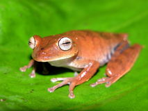 Amazon tree frog. Hyla found in the amazon rain forest in Ecuador stock photos
