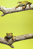 amazon tree frog background copy space amphibian  Royalty Free Stock Image