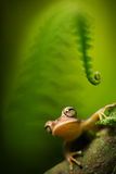Amazon tree frog. Tree frog Hypsiboas faciata under a fern in the tropical amazon rain forest, This small amphibian with big eyes lives in the jungles of Peru Stock Photography