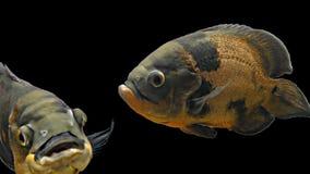 Amazon Tropical Fish - Tiger Oscar, Black Background. Magnificent tropical fish - Tiger Oscar stock video footage