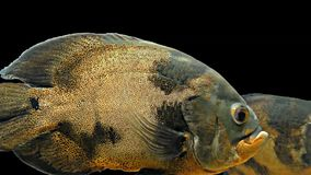 Amazon Tropical Fish - Tiger Oscar, Black Background. Magnificent tropical fish - Tiger Oscar stock footage