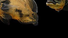 Amazon Tropical Fish - Tiger Oscar, Black Background. Magnificent tropical fish - Tiger Oscar stock video